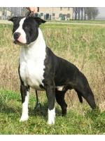 American Staffordshire Terrier, amstaff - Bred-by, Angel (Ataxia Clear by parental) HD-B ED-0 Cardio Normal