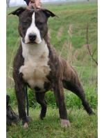 American Staffordshire Terrier, amstaff - Bred-by, Twist (Ataxia Clear By Parental)