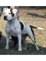 American Staffordshire Terrier, amstaff - Bred-by, Memole-Pibu  (Ataxia Clear By Parental)