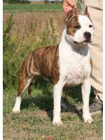 American Staffordshire Terrier, amstaff - Bred-by, Crazy (Ataxia Carrier)