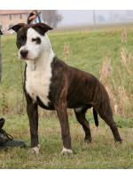 American Staffordshire Terrier, amstaff - Bred-by, Biff (Ataxia Clear By Parental)