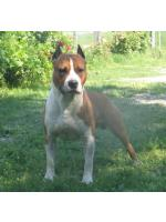 American Staffordshire Terrier, amstaff - Foundation, Buster