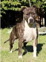 American Staffordshire Terrier, amstaff - Bred-by, Raja (Ataxia Clear by Parental)