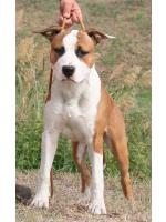 American Staffordshire Terrier, amstaff - Bred-by, Max