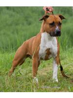American Staffordshire Terrier, amstaff - Bred-by, Wendy (Ataxia Clear By Parental)