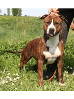 American Staffordshire Terrier, amstaff - , Schiva (Ataxia Carrier)