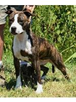 American Staffordshire Terrier, amstaff - Bred-by, Lady
