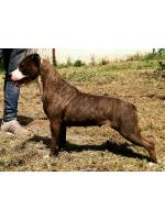 American Staffordshire Terrier, amstaff - Bred-by, Piuma (Ataxia Clear By Parental)