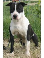 American Staffordshire Terrier, amstaff - Bred-by, Oscar (Ataxia Clear by Parental)