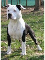 American Staffordshire Terrier Ethan (Ataxia Clear by Parental)