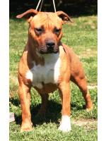 American Staffordshire Terrier Baby (AtaxiaClear)
