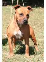 American Staffordshire Terrier Foxy (Ataxia Clear)