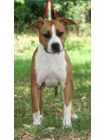 American Staffordshire Terrier, amstaff - Bred-by, Diva