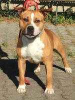 American Staffordshire Terrier, amstaff - , Ettore (Ataxia Clear By Parental)