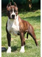 American Staffordshire Terrier, amstaff - Foundation, Chica (Ataxia Clear)