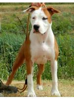 American Staffordshire Terrier, amstaff - Bred-by, Apple HD-A ED-0