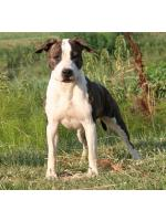 American Staffordshire Terrier, amstaff - Bred-by, Maya (ataxia Clear By Parental)