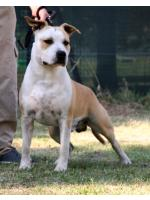 American Staffordshire Terrier, amstaff - Bred-by, Homer (Ataxia Clear By Parental)