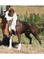 American Staffordshire Terrier, amstaff - Bred-by, Stella  (Ataxia Carrier) HD-A ED-0