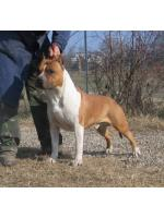 American Staffordshire Terrier, amstaff - Foundation, Doc