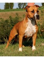 American Staffordshire Terrier Alaska (Ataxia Clear By Parental)