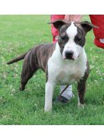 American Staffordshire Terrier, amstaff - Bred-by, Baby