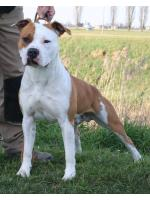 American Staffordshire Terrier, amstaff - Bred-by, Darko (Ataxia Clear By Parental)