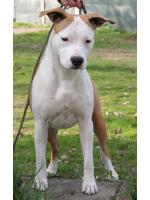 American Staffordshire Terrier, amstaff - Bred-by, Sharon