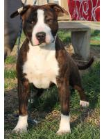 American Staffordshire Terrier, amstaff - , Gleen (Ataxia Clear By Parental)