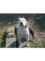 American Staffordshire Terrier, amstaff - Foundation, Minny