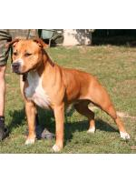 American Staffordshire Terrier, amstaff - Bred-by, Tessa (Ataxia Carrier)