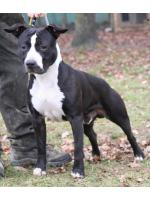 American Staffordshire Terrier Nietzsche (Ataxia Clear By Parental)