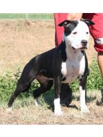 American Staffordshire Terrier, amstaff - Bred-by, Minnie