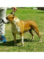 American Staffordshire Terrier Charlie (Ataxia Clear)