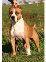 American Staffordshire Terrier, amstaff - , Speed (Ataxia Clear)
