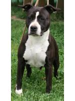 American Staffordshire Terrier, amstaff - , Missy (Ataxia Clear)