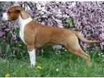AMSTAFF Red (Ataxia Carrier)