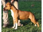 AMSTAFF Wendy (Ataxia Clear By Parental)