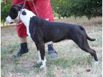 AMSTAFF Margot  (Ataxia Clear By Parental)