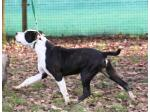 AMSTAFF Joy (Ataxia Clear By Parental)