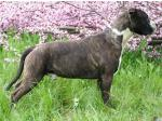 AMSTAFF Mickey (Ataxia Clear By Parental)