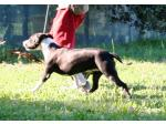 AMSTAFF Nevada (Ataxia Clear By Parental)