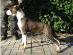 AMSTAFF Esmeralda (Ataxia Clear By Parental)