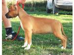 AMSTAFF Alaska (Ataxia Clear By Parental)