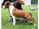 AMSTAFF Blaster (Ataxia Clear By Parental)