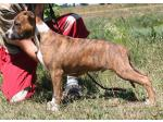 AMSTAFF West (Ataxia Carrier)