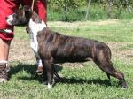 AMSTAFF Nellie (Ataxia Clear By Parental)