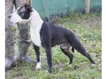 AMSTAFF Zuma (Ataxia Clear By Parental)