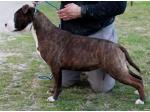 AMSTAFF Piuma (Ataxia Clear By Parental)