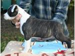 AMSTAFF Kimbo (Ataxia Clear By Parental)